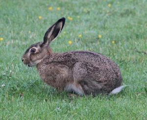 Hare på fält